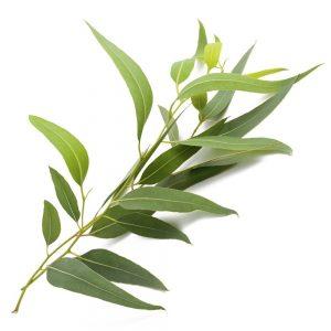 eukaliptus, prirodno liječenje išijasa